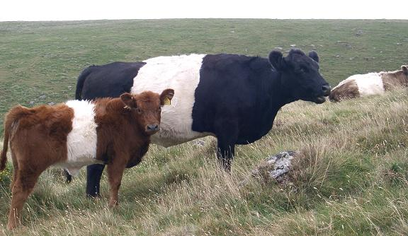 Belted Galloway Cattle http://www.dartmoorbeltedgalloways.co.uk/Pictures.html