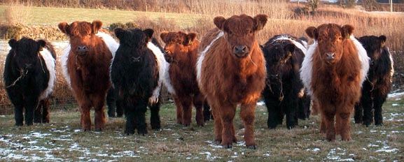 Black & Red Belted Galloway Cattle