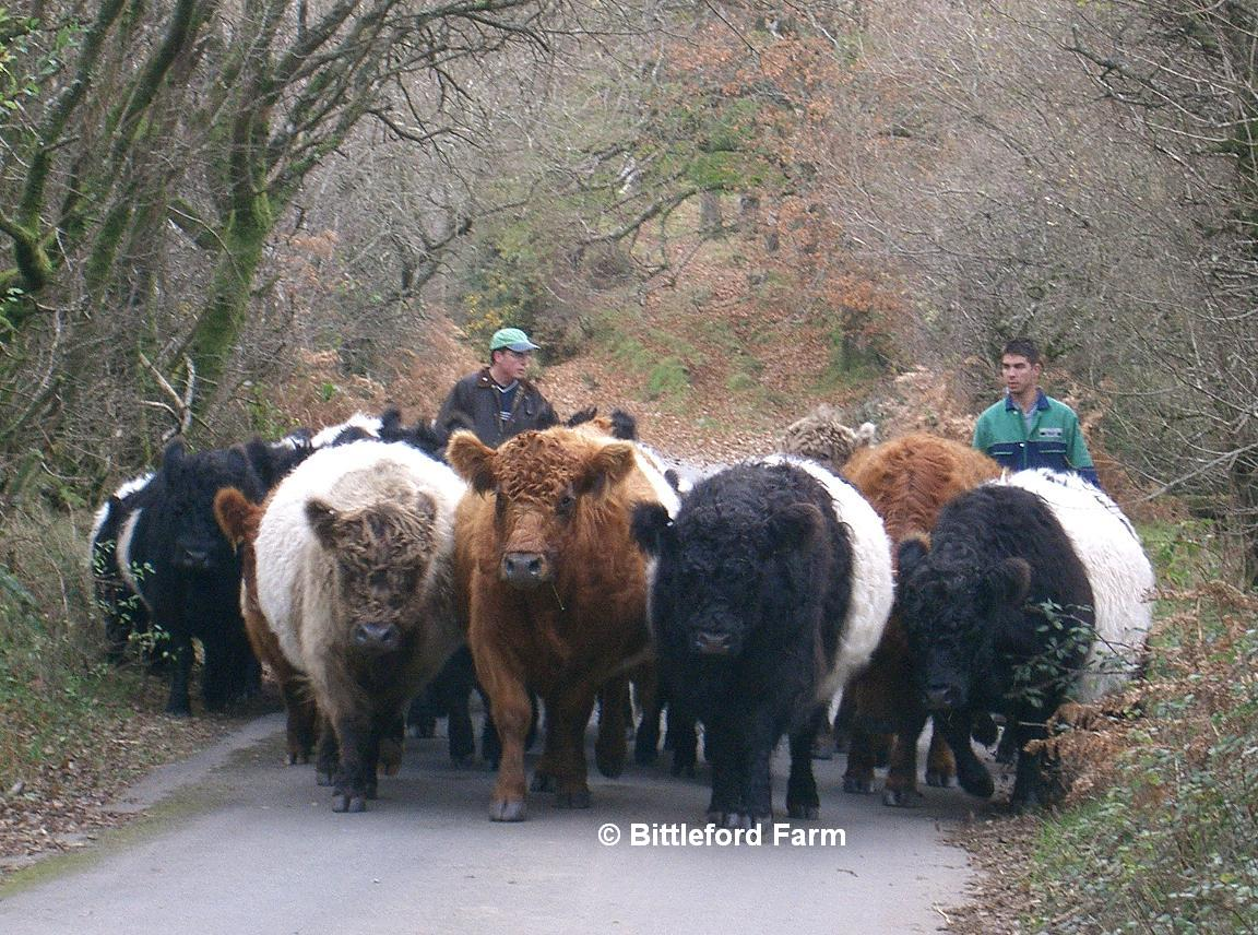 Belted Galloway Cattle http://www.dartmoorbeltedgalloways.co.uk/